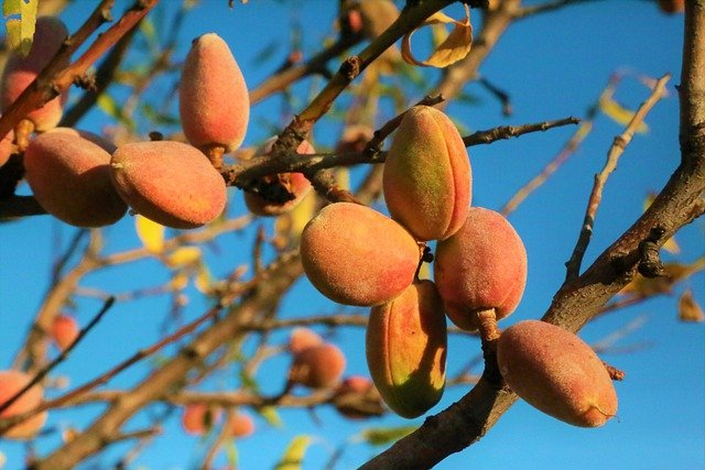 how to grow almond tree