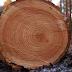 En Restauración agricultor muere aplastado por árbol de pino que cortaba