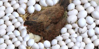 11 Factors affecting Egg production