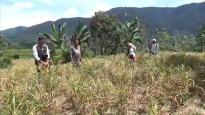 Harga Jahe di Kabupaten Toba Tidak Stabil