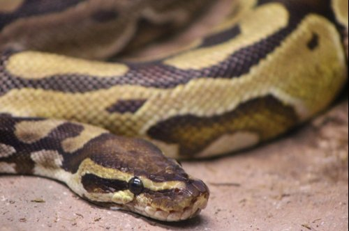 Georgia family finds python on back porch