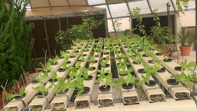 نمو نبات الخس بعد مرور 25 يوم