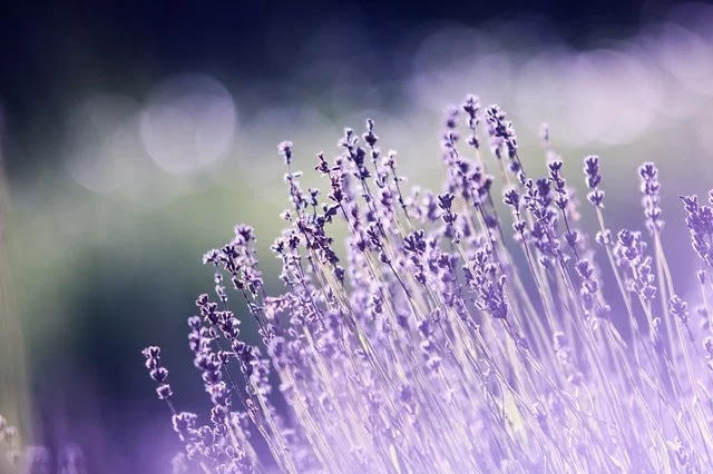 Lavender plants are great sources of essential oils for aromatherapy