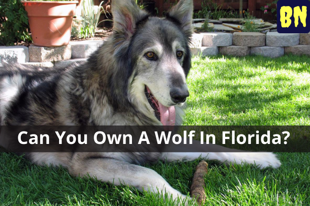 Can You Own A Wolf In Florida?