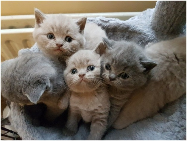 What Should You Know Before Bringing British Shorthair Kittens Home?