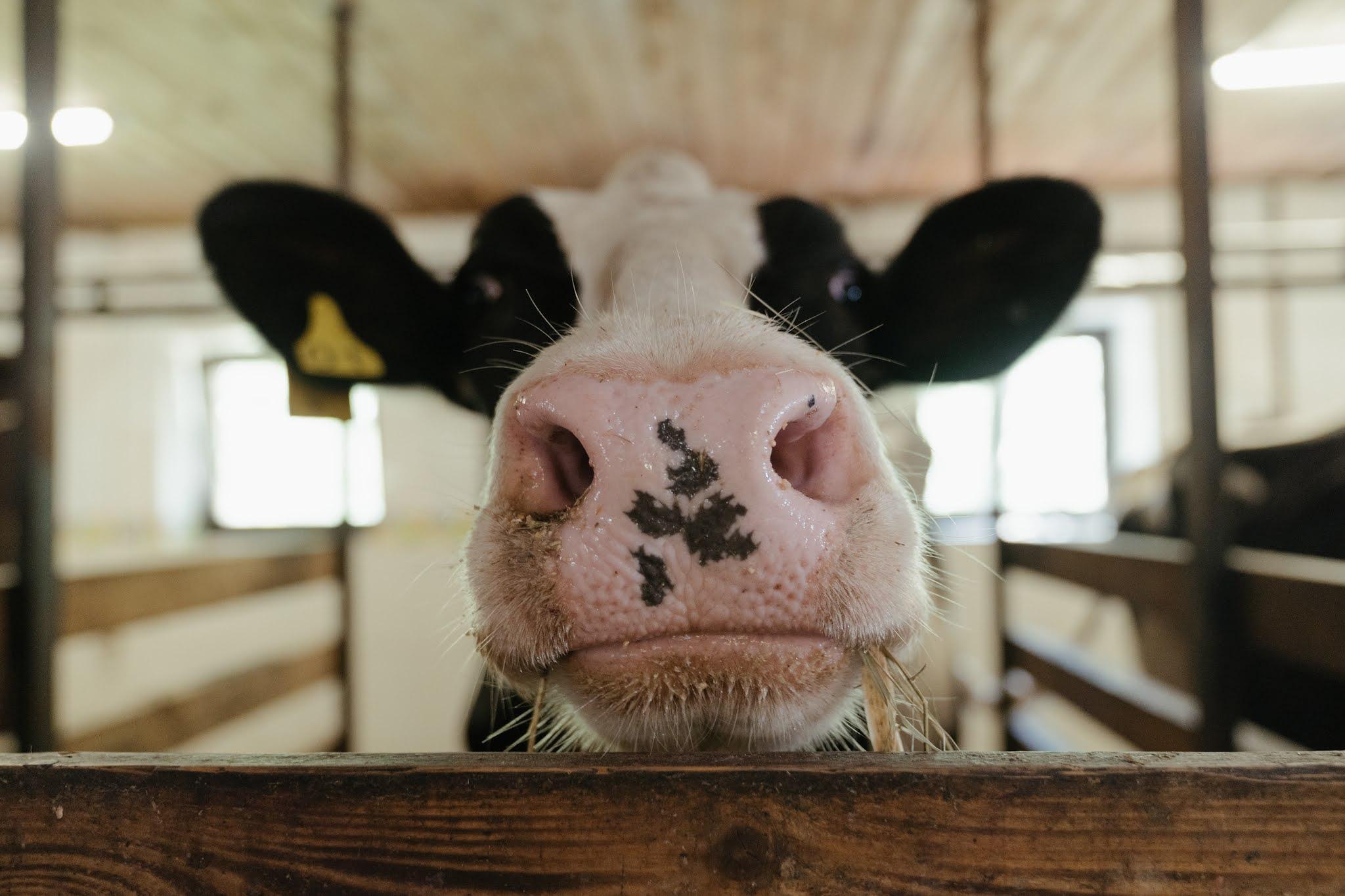 cow essay in Hindi