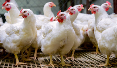 Why gut health is important in Poultry