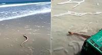Serpente marinha venenosa é resgatada com cesta de supermercado