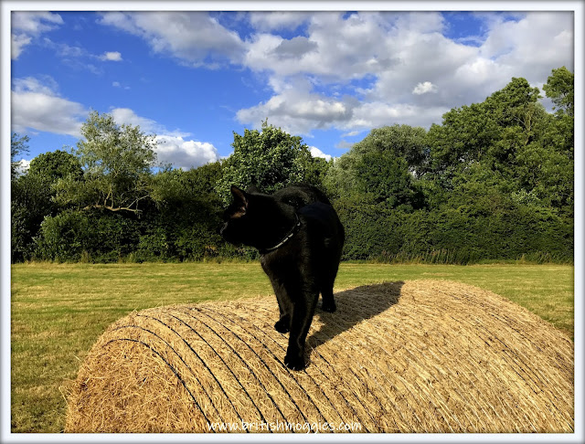 black cat on top of a round bale, black cat on a bale, black cat, cute  black cat, english countryside, field
