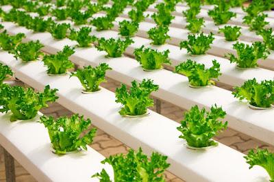 زراعة الخس داخل نظام الزراعة المائية داخل الأنابيب