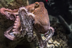 Octopuses Can See Through Their Skin and Camouflage Accordingly