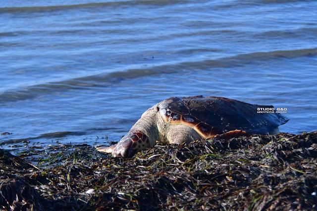 Δίχως τέλος το δράμα με τις νεκρές θαλάσσιες χελώνες στην Αργολίδα