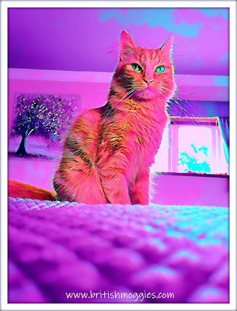 Fudge's Bedroom Selfie  ©BionicBasil® Caturday Art Hop www.britishmoggies