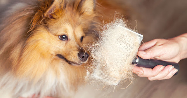 Why Does Your Dog Shed So Much? [And How to Stop It!]