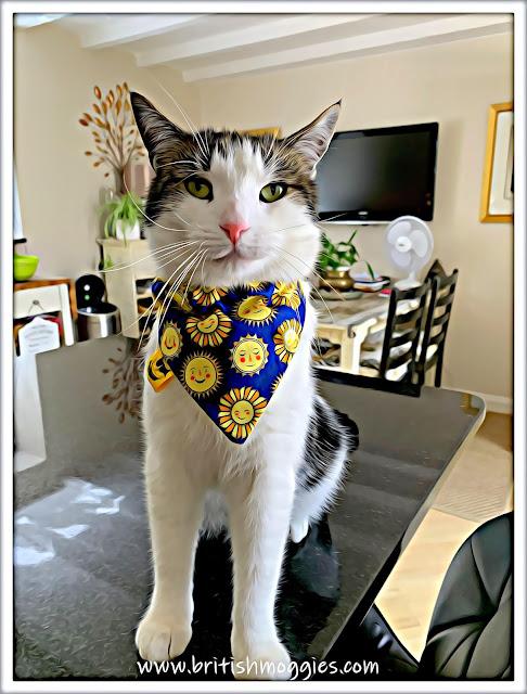 Cute tabby cat wearing a bandada