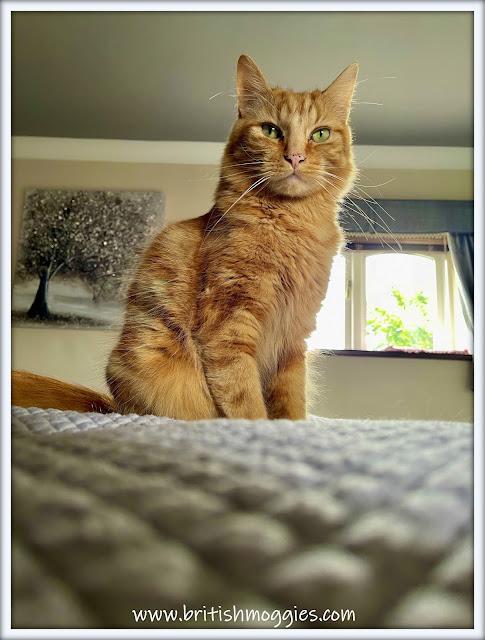 Fudge the ginger cat, bedroom selfie
