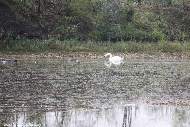 A swan nibbles at Turtle Lake in Plainfield, Illinois.