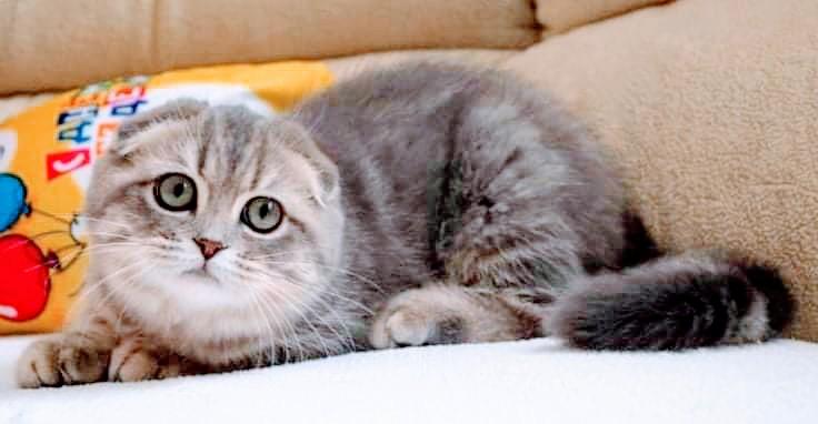 Kucing Exotic Shorthair Jenis Scottish Fold Infiniti Brilian Khabib