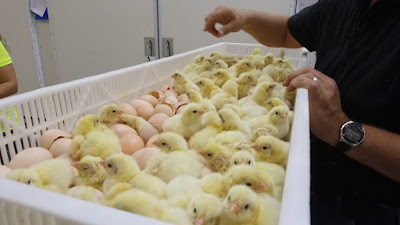 How to clean hatchery for quality chick production