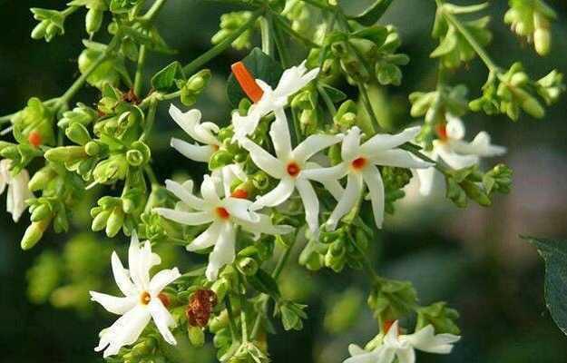 तनाव को कम करने के लिए घर में लगाएं हरसिंगार के फूल