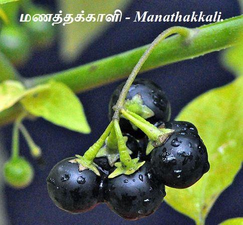 மணத்தக்காளி - Manathakkali - Types of Solanum Plant.