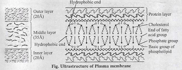 प्लाज्मा झिल्ली  या जीवद्रव्य कला या कोशिका कला (Plasma membrane) क्या है ? इसकी संरचना (Structure) व कार्य।