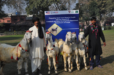 The Dancing Goat - Nachi : a native breed of Pakistan