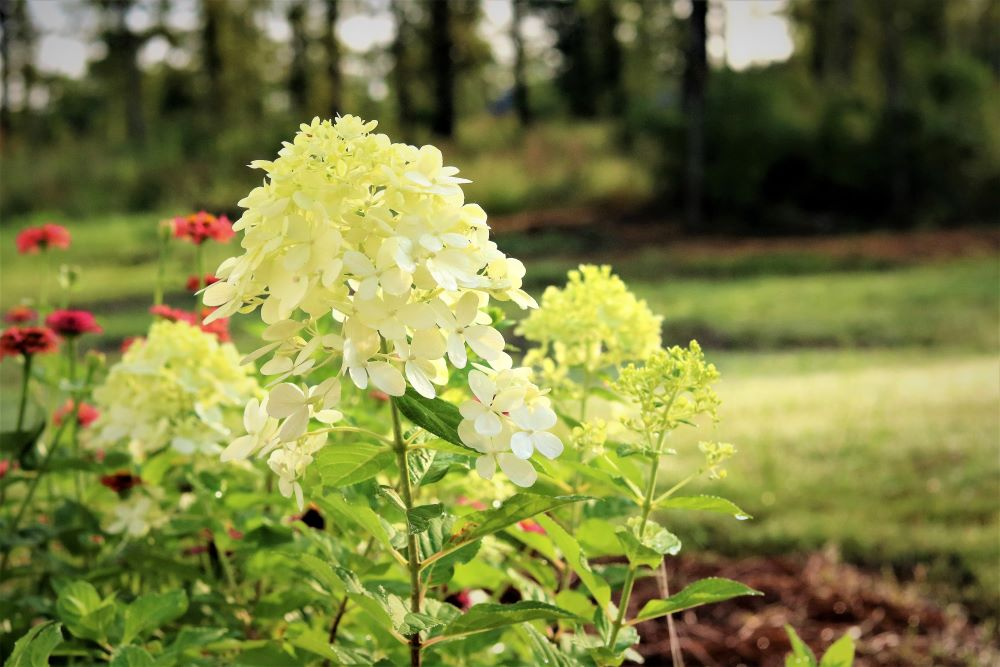 hydrangea-limelight-growing-zones