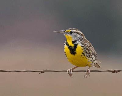 Photo of Western Meadowlark on a fence line