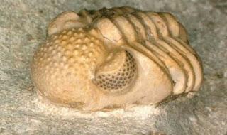 Hóa thạch 300 triệu năm tuổi hé lộ động vật quý hiếm có hàng trăm con mắt