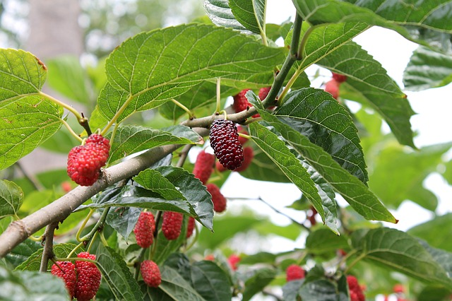 mulberry leaves benefits for health