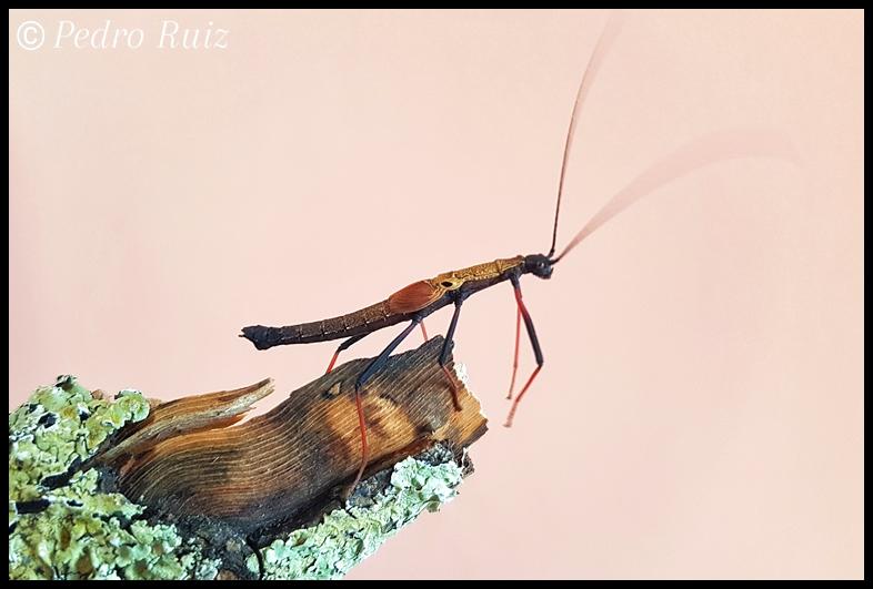 "Ninfa macho L5 de Pseudophasma scabriusculum ""Panguana"", 3,7 cm de longitud"