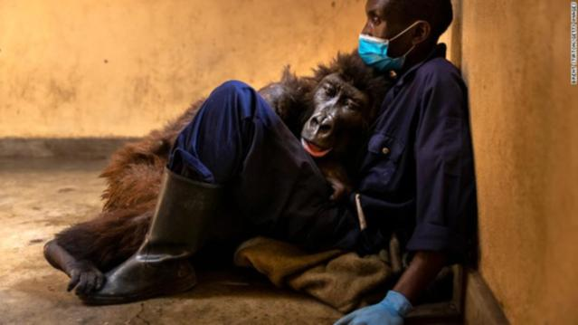 Emotional Moment Orphaned Mountain Gorilla Dies In The Arms Of Her Carer