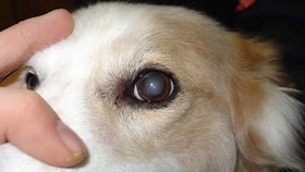 Why Are My Dogs Eyes Cloudy?