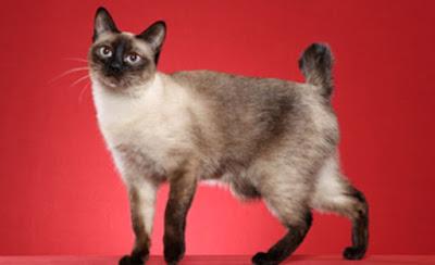 Sifat Ras Kucing Mekong Bobtail