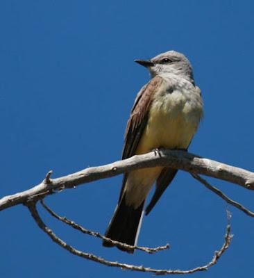 Photo of Western Kingbird on a branch