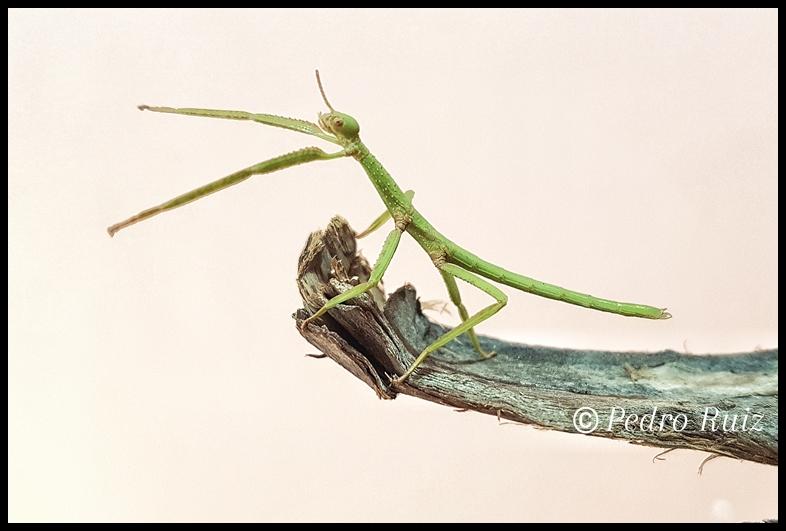 Ninfa hembra L3 de Paracyphocrania major,  5 cm de longitud