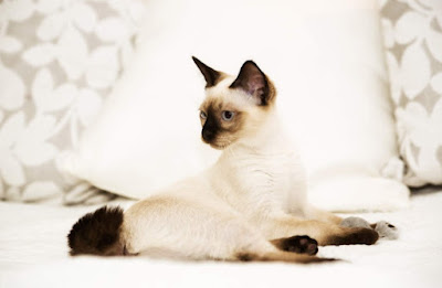 Jenis Ras Kucing Mekong Bobtail