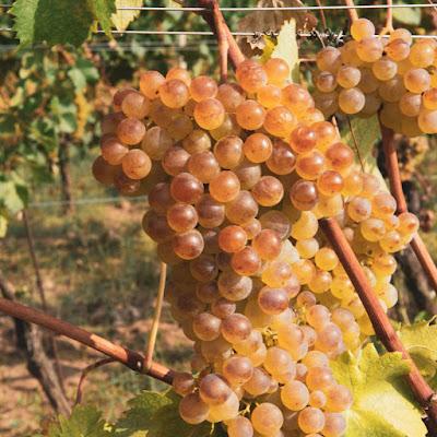 gavi cortese vitigno