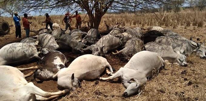 Raio mata 33 bois na fazenda Maqui em Jaíba MG
