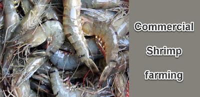 Commercial Shrimp farming guide for beginners