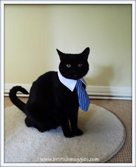 black cat in a blue tie, cat in a collar and tie, cute black cat