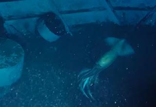 Biển Đỏ có mực khổng lồ, to hơn con người sinh sống