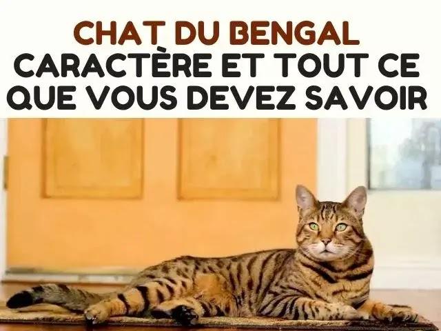 chat bengal caractère et tout ce que vous devez savoir