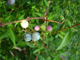 gambar buah porcelain berry