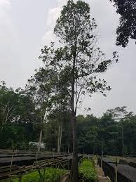 Budidaya Gemor