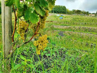 carricante uva etna
