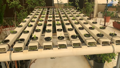 نمو نبات الخس بعد مرور 10 أيام