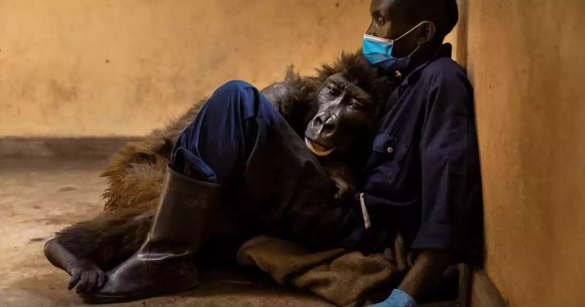 Orphaned Gorilla Who Became Famous For Posing For Selfie, Dies In The Arms Of Her Caretaker At Age 14