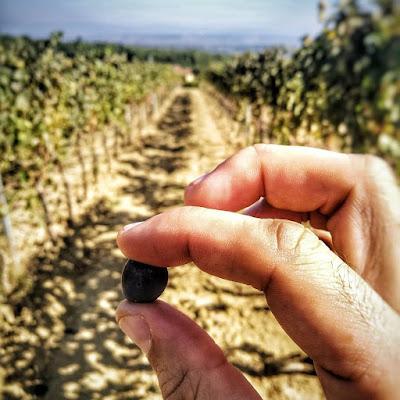 assaggio uva vendemmia maturazione